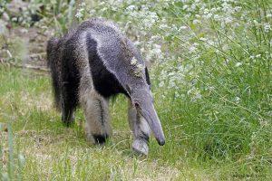 fourmilier - Zoo des Sables - S.Silhol