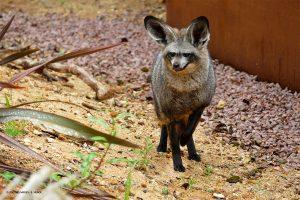 Otocyon - Zoo des Sables - S.Silhol