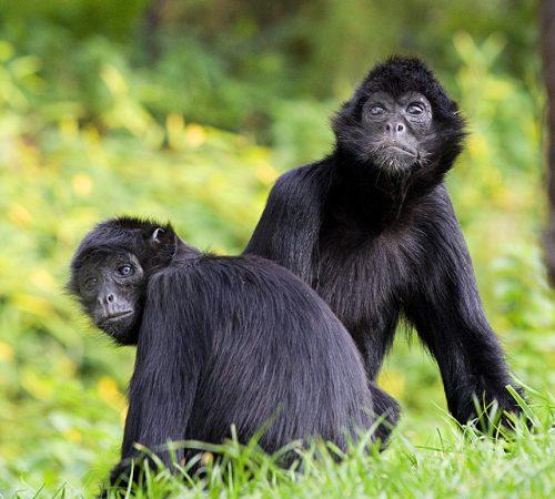 Atele noir de Colombie © Zoo des Sables - S.Silhol