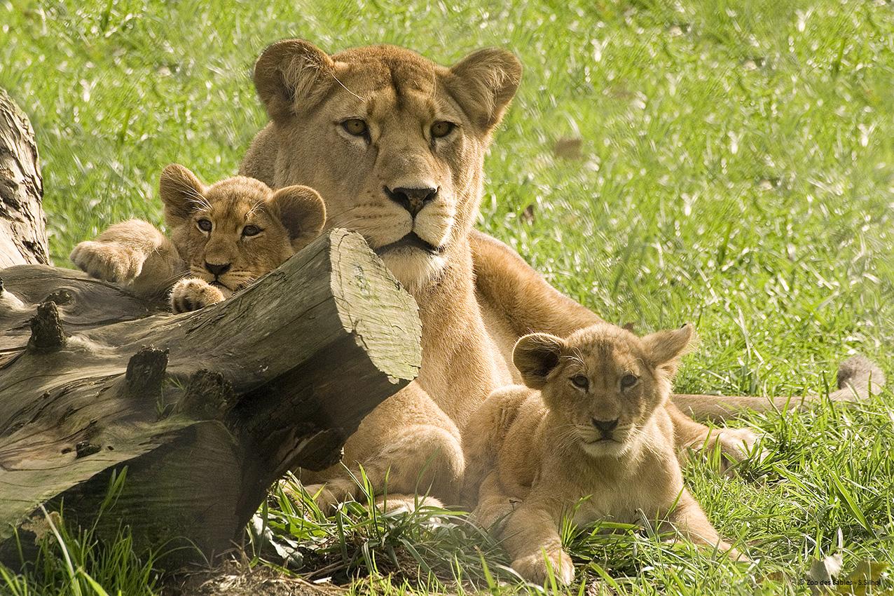 Lion de l'Atlas © Zoo des Sables - S.Silhol