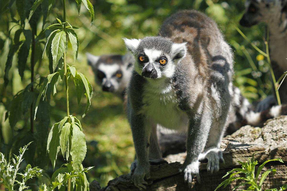 Maki catta - Zoo des Sables - S.Silhol