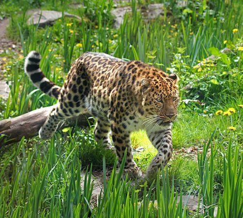 Panthere de l'amour ∏ Zoo des Sables - S.Silhol