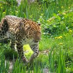 Panthere de l'amour - Zoo des Sables - S.Silhol